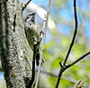 Yellow-rumped Warbler, Magee Marsh, OH, 5/11