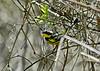 Magnolia Warbler, Magee Marsh, OH, 5/11