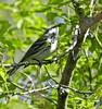 Yellow-rumped Warbler, Magee Marsh, OH 5/11