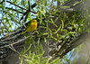Yellow Warbler, Magee Marsh, OH 5/11