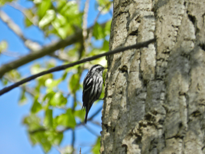 Black and White Warbler, Magee Marsh, OH 5/11