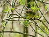 Palm Warbler, Magee Marsh, OH, 5/11