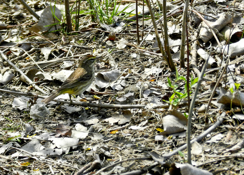Palm Warbler, Magee Marsh, OH 5/11 TBWIAB