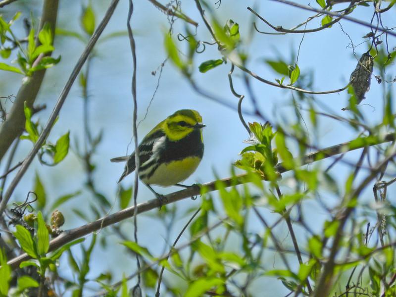 Black-troated Green Warbler, Magee Marsh, OH 5/11 TBWIAB