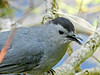 Cat Bird, Magee Marsh, OH 5/11 TBWIAB