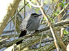 Catbird, Magee Marsh, OH 5/11