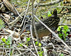 Virginia Rail, Magee Marsh, OH 5/11 TBWIAB
