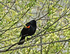 Red-winged Blackbird, Magee Marsh, OH 5/11