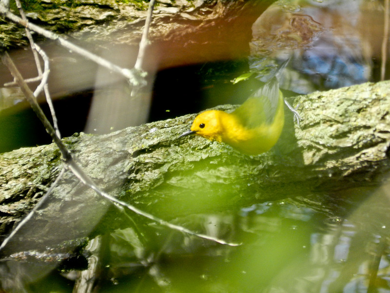 Prothonotary Warbler, Magee Marsh, 5/11 TBWIAB