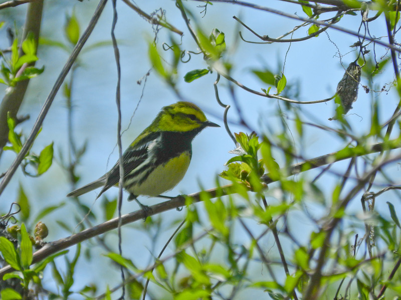 Black-troated Green Warbler, Magee Marsh, OH 5/11 TBWIAB