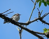 Chestnut-sided Warbler, Magee Marsh, OH 5/11