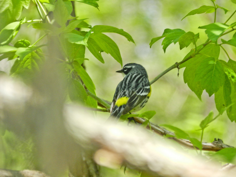 Yellow-rumped Warbler, Magee Marsh, OH 5/11 TBWIAB