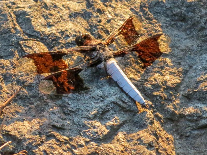 Common White-tail, The Crossings, Glen Elen VA
