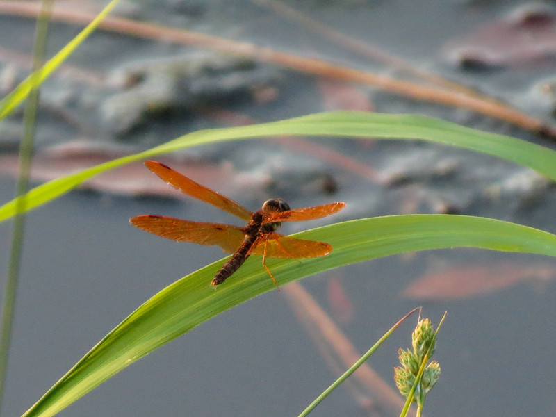 Eastern Amberwing, The Crossings, Glen Elen VA