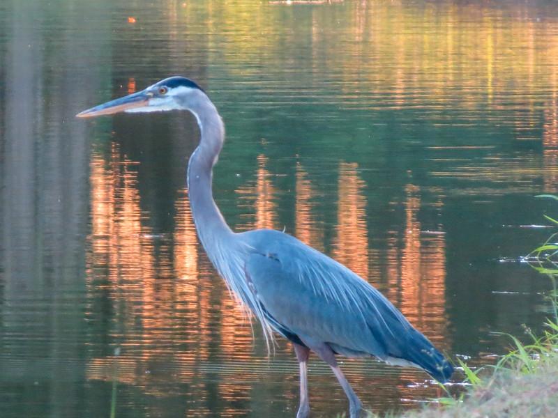 Great Blue Heron, The Crossings, Glen Elen, VA