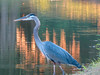 Great Blue Heron, The Crossings, Glen Elen, VA