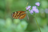 Glasswinded Butterfly near the divide