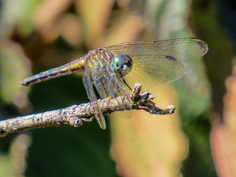 Blue Darter. Moorefield Park, N. Chesterfield, VA