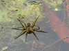 Six-spotted Fishing Spider, Moorfield Park Ponds, N. Chesterfield, VA