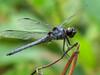 Slaty Skimmer, Moorfield Park Ponds, N. Chesterfield, VA