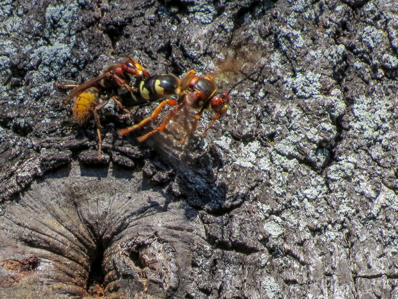 Cicada Killer Wasp and Japanese Hornet,  Moorfiled Park, N. Chesterfield VA