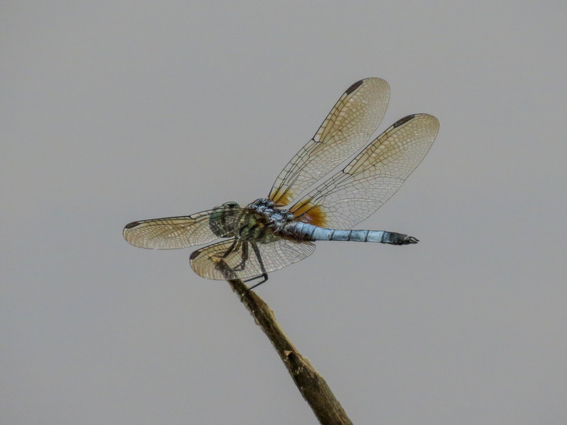 Blue Dasher, Moorfield Park Ponds, N. Chesterfield, VA