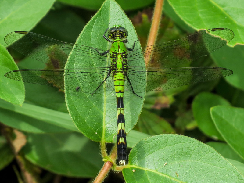 Fm Eastern Pondhawk, Moorfield Park Ponds, N. Chesterfield, VA