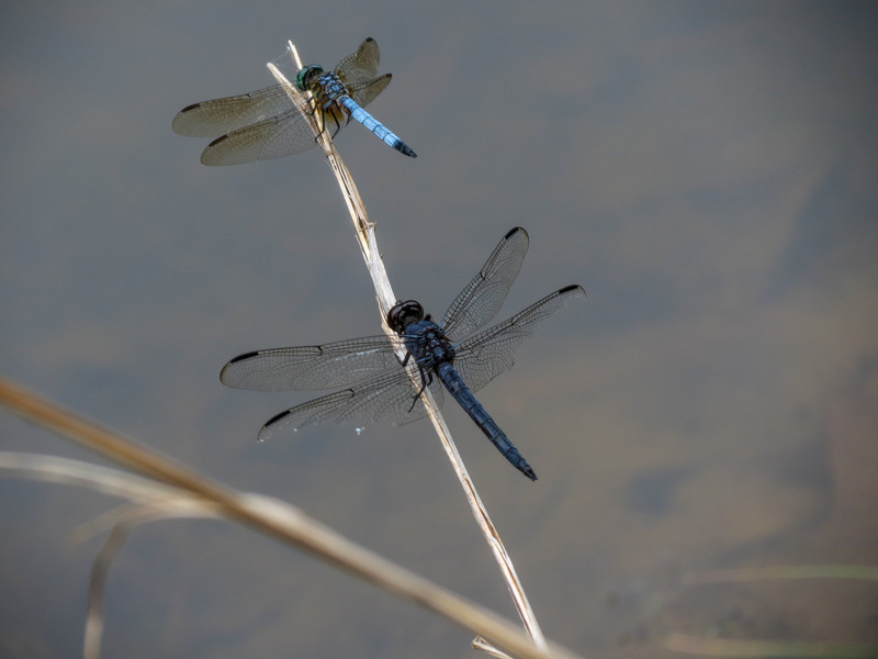 Slaty Skimmer and Blue Dasher, Moorfield Park Ponds, N. Chesterfield, VA