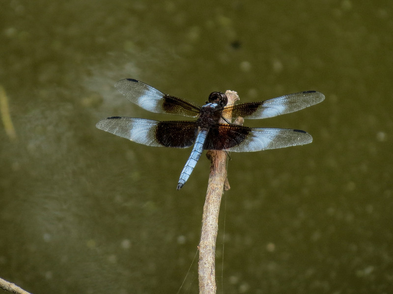 Widow Skimmer, Moorfield Park Ponds, N. Chesterfield, VA