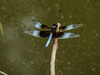 Widow Skimmer, Moorfield Park Ponds, N. Chesterfield, VA