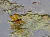 Eastern Amberwing, Moorfield Park Ponds, N. Chesterfield, VA