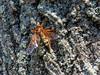 Cicada Killer Wasp, Moorfiled Park, N. Chesterfield VA