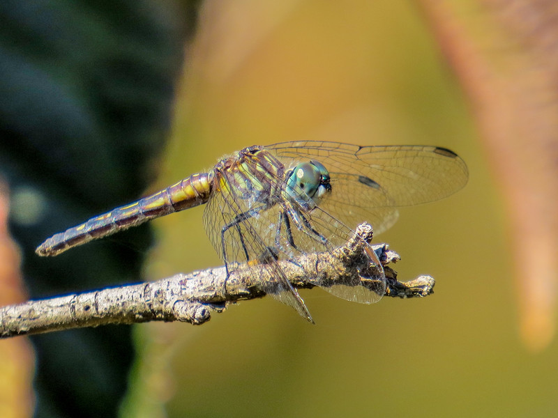 Blue Darter, Moorefield Park, N. Chesterfield, VA