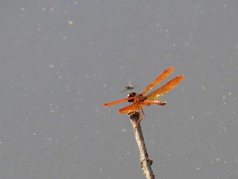 Eastern Amberwing, Moorfield Park Ponds, N. Chesterfield, VA