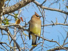 Cedar Waxwing, Wildcatter Ranch, Graham TX