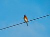 Eastern Bluebird, Wildcatter Ranch, Graham TX