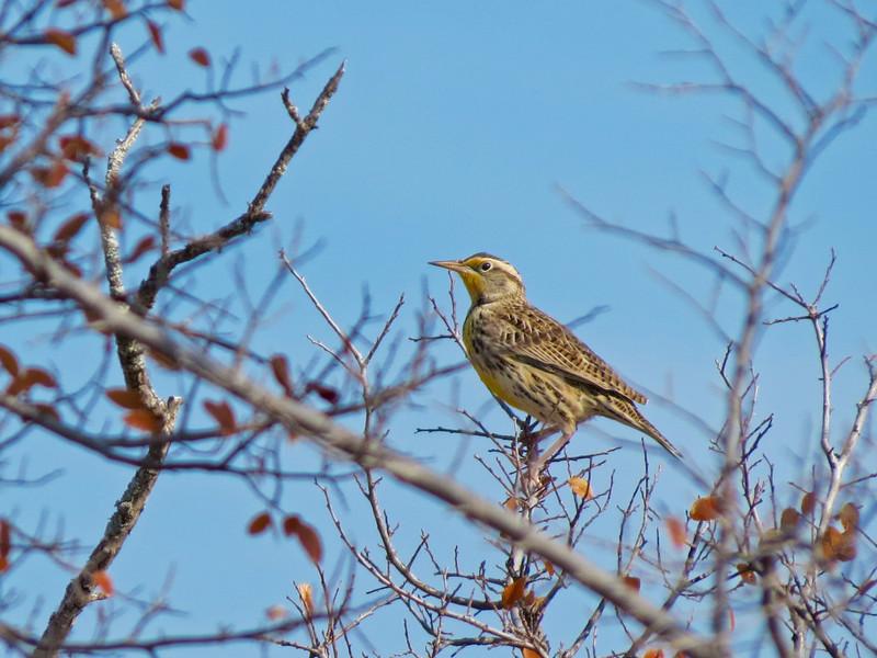 Meadowlark, Wildcatter Ranch, Graham TX
