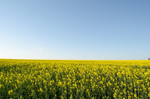 Field of Canola; Wiltshire, England