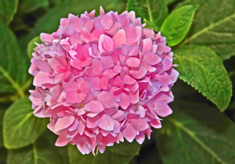Hydrangea in Pink
