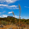 Yucca in the Santa Monica Mountains