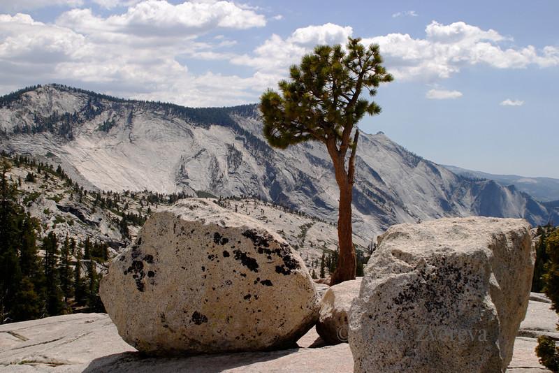 <p>Pine tree grows on the granite at Tiora Road, Yosemite National Park, California, USA</p>
