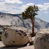 <p>Pine tree grows on the granite at Tiora Road, Yosemite National Park, California, USA</p>