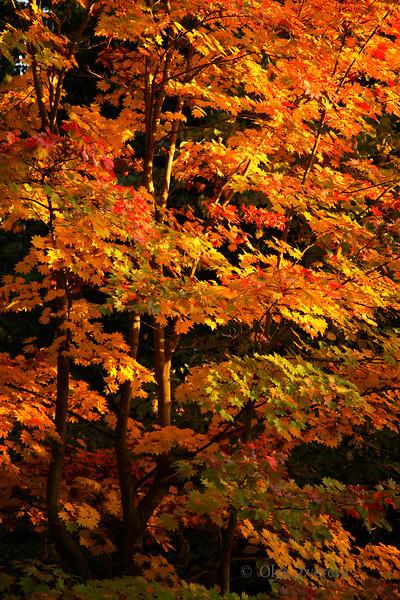 <p>Golden leave. Washington Park Arboretum, Seattle, Washington, USA</p>