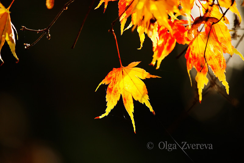 <p>Golden leaf. Washington Park Arboretum, Seattle, USA</p>