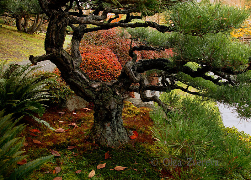 <p>Pine tree at Japanese Garden, Washington Park Arboretum, Seattle, Washington, USA