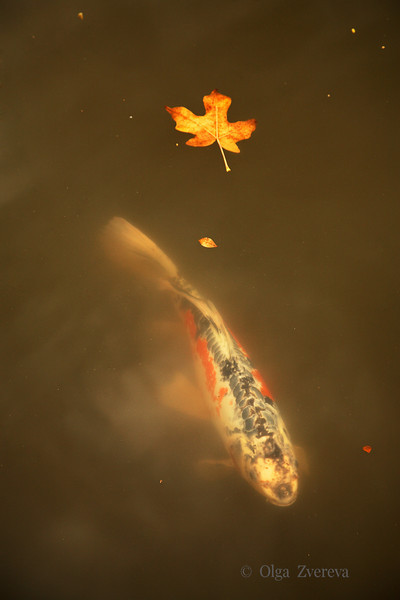 <p>Koi fish at Japanese garden, Washington Park Arboretum, Seattle, USA</p>