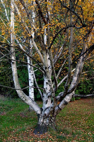 <p>Birch. Washington Park Arboretum, Seattle, Washington, USA</p>