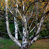 <p>Birch. Washington Park Arboretum, Seattle, Washington, USA</p>