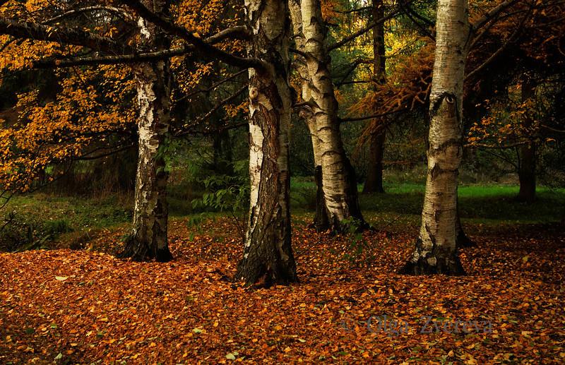 <p>Birches. Washington Park Arboretum, Seattle, Washington, USA</p>