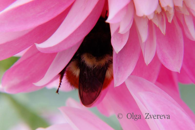 <p>Bumblebee inside the dahlia.</p>